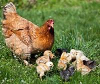 Exposition « Roule ma poule » à l'Asphodèle