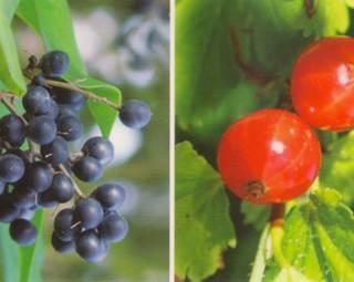 baies et fruits ©